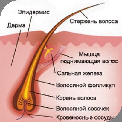 Корень волоса фото